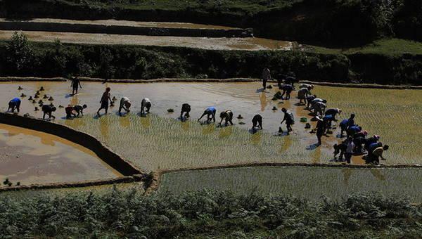 Người dân xã Tả Phìn thường tập trung cấy rất đông vì họ làm việc theo cơ chế đổi công.