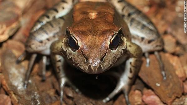 Loài Giant ditch frog, (Dominica và Montserrat)