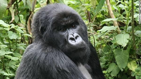 Loài Gorilla (khỉ đột), Cộng hòa Congo