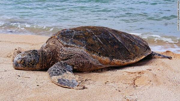 Loài rùa biển màu xanh (Green sea turtle), quần đảo Cayman