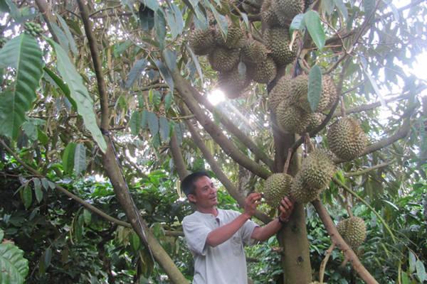 Sầu riêng là một loại trái cây đặc sản của nơi đây
