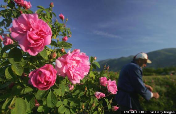 Thăm thung lũng hoa hồng đẹp ngất ngây ở Bulgaria