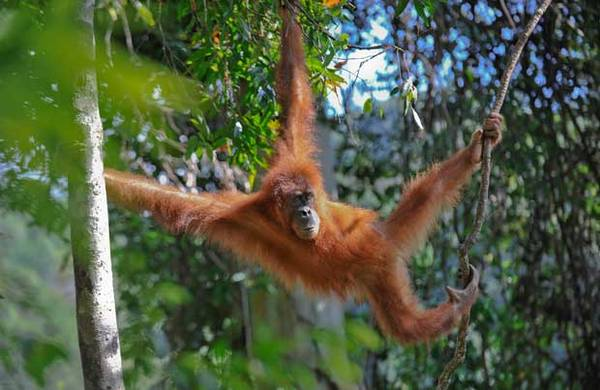Du lich Malaysia - Loài đười ươi trong một khu  rừng của Borneo.