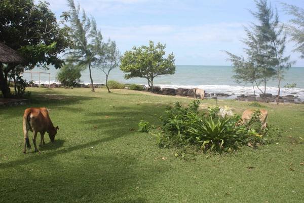 Du lich Phu Quoc - Những đàn bò gặm cỏ trong khuông viên khu nghỉ dưỡng, khiến bạn cảm nhận được nét dân dã của vùng quê.