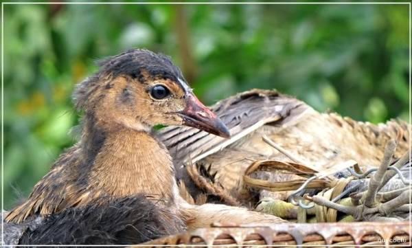 Du lich mien Tay - Chim cúm núm - đặc sản mùa nước nổi miền Tây