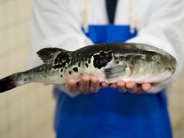 Du lịch thế giới - Mối nguy hiểm từ cá nóc