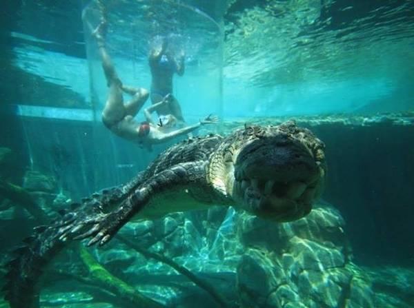 Bơi lội cùng… cá sấu.
