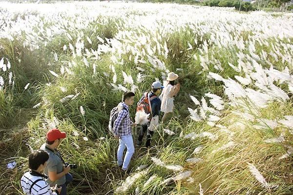 Mùa cỏ lau ở Đà Nẵng.