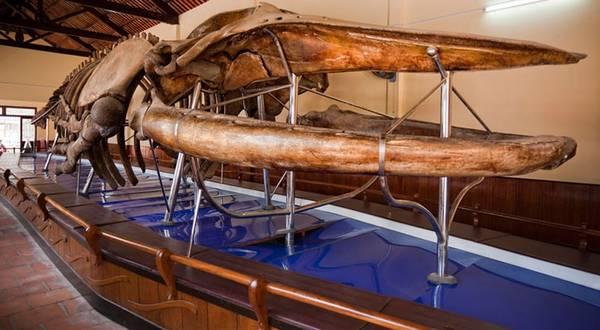 Bộ xương cá voi được trưng bày tại Dinh Vạn Thủy Tú. Ảnh: thuvienbinhthuan