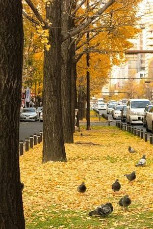 Cả con đường vàng rực sắc màu cây rẻ quạt