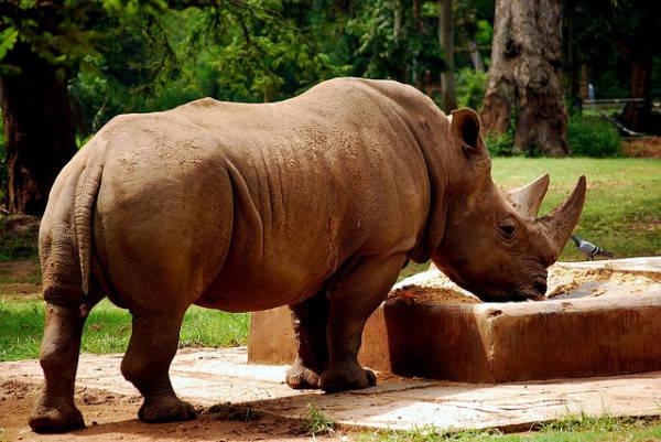 Tê giác Java