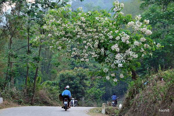 Một cung đường hoa trẩu ngát rừng.
