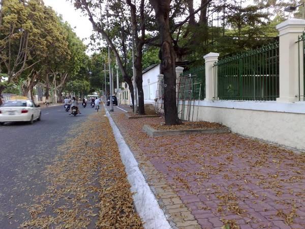 Những cánh chò nâu rơi đầy phố