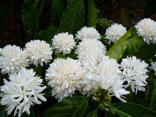 Cả đất trời thơm hương hoa cà phê.