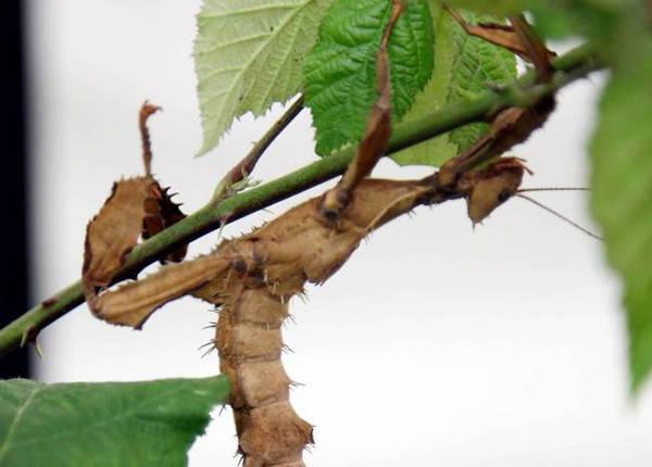 Nhiều loài bọ que được chế biến thành món ăn ở Papua New Guinea và châu Á.