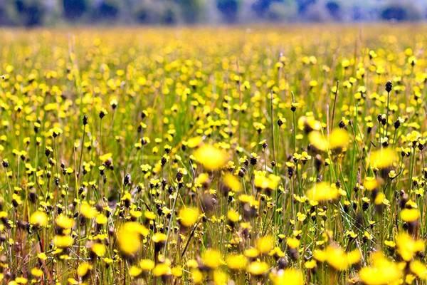 Một điều đặc biệt thú vị nữa là hoa mọc trên chính bãi cỏ năng kim, loại thức ăn ưa thích của loại chim quý sếu đầu đỏ.