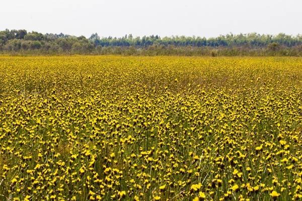 Hy vọng một ngày không xa, cánh đồng hoa vàng đầy quyến rũ này sẽ trở thành một điểm phải đến và cuốn hút đối với du khách trong hành trình khám phá vùng Đồng Tháp Mười