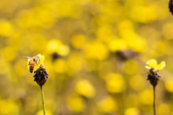 Khi mùa nước nổi hết, đồng khô hạn cùng là lúc loài hoa tuyệt đẹp này bắt đầu sinh sôi nảy nở.