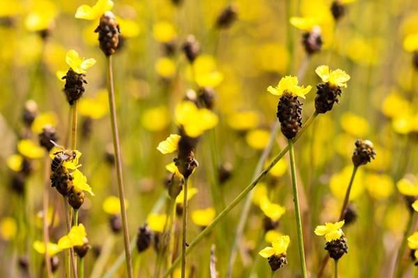 Gọi là hoàng đầu ấn vì thân hoa là một ống tròn nhỏ dài khoàng 10-20 cm.
