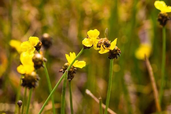Mùa hoa nở kéo theo ong đến lấy mật. Cả một bầu không gian rộng lớn rì rì tiếng ong đập cánh.