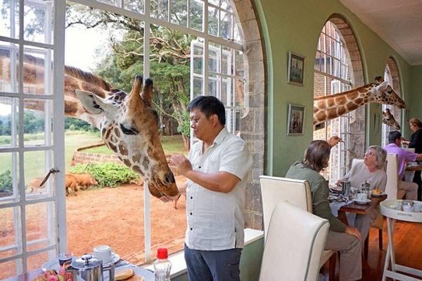 Là một khách sạn độc đáo ở Nairobi, Kenya, Giraffe Manor rộng 600.000m2 nơi có cả một đàn hươu cao cổ thuộc giống Rothschild quý hiếm. Không chỉ được vuốt ve chúng mà ngay cả khi ăn sáng, ngủ, chụp ảnh... du khách cũng khó lòng chối từ những con vật thân thiện này.