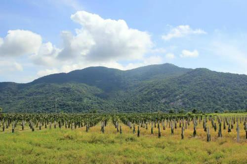 Những hàng cây thanh long thẳng tắp cả một vùng rộng lớn đang là nguồn kinh tế cho các hộ gia đình nơi đây.