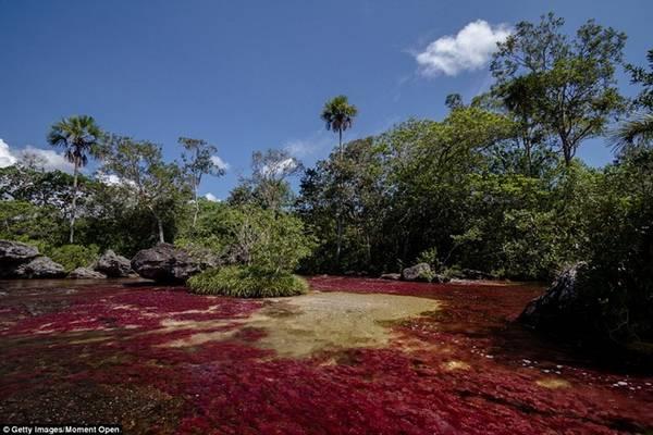 Caño Cristales dài gần 100 km với màu sắc vô cùng rực rỡ.