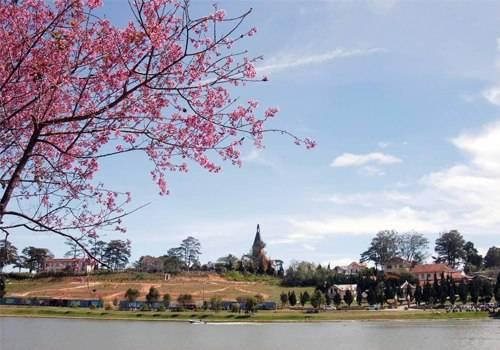 Mai anh đào Đà Lạt, biểu tượng mùa xuân của phố núi ngàn hoa.
