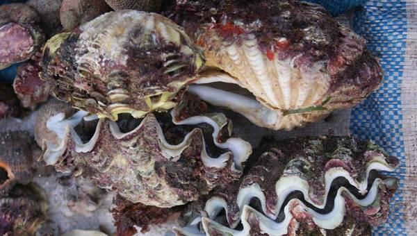 Ốc tượng là món hải sản nổi tiếng nhất ở Lý Sơn.