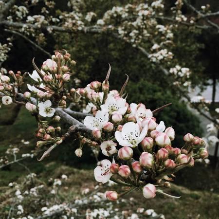 10. Ngắm hoa anh đào trên đỉnh Alishan: Du khách có lẽ thường chỉ nghe về hoa anh đào tại Nhật, nhưng tại Đài Loan hoa anh đào cũng được trồng nhiều và nổi tiếng nhất vẫn là khu du lịch Alishan. Thời điểm lý tưởng nhất để ngắm hoa anh đào tại Đài Loan là vào tháng 3 đến tháng 4 hàng năm. Ảnh: Minh Trí