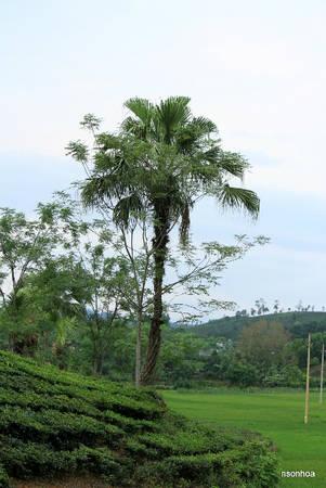 Cây cọ mùa ra quả. Ảnh: Nguyễn Sơn Hòa.