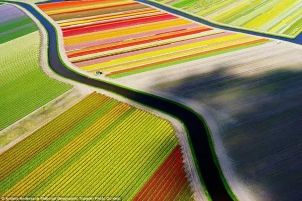 Toàn cảnh rực rỡ sắc hoa tulip tại thị trấn Voorhout (Hà Lan). Ảnh: Anders Andersson/National Geographic.