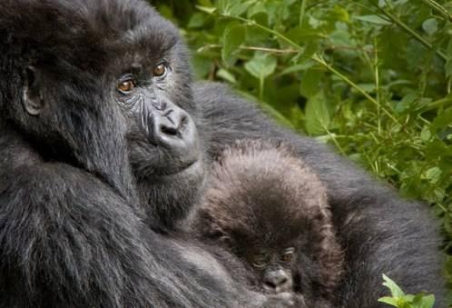 Những con dã nhân ở vùng núi Virunga Chạy dọc theo biên giới các nước Uganda, Rwanda và Congo, dãy núi Virunga là một chuỗi các ngọn núi lửa đẹp và rất đáng để tham quan. Chúng có cảnh quan ngoạn mục và là nơi sinh sống của loài dã nhân đang gần tuyệt chủng. Du khách có thể quan sát chúng ở những ngọn núi chính như Karisimbii, Nyiragira và Nyirangongo.