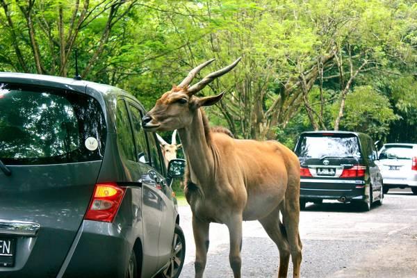 Công viên Safari là công viên duy nhất ở Jakarta mà bạn có thể nhìn thấy các con vật đi lại tự do trong công viên. Ảnh: Endthismystery.blogspot.com