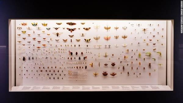 Điều kỳ diệu của sự lột xác: Hàng chục loài bướm và bướm đêm được trưng bày tại góc nhiệt đới của châu Á, trong đó có cả loài bướm đêm Atlas khổng lồ.
