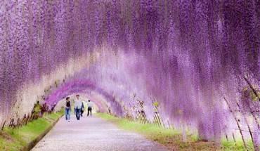 Đường hầm hoa tử đằng Kawachi ở Kitakyushu. Ảnh: labourlost.org