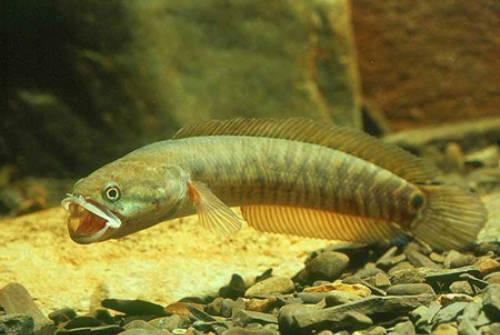 Các cơ quan chức năng đang bảo tồn môi trường sống để phát triển giống cá tràu thơm ngon, giữ gìn món ăn đậm bản sắc. Ảnh: Danviet