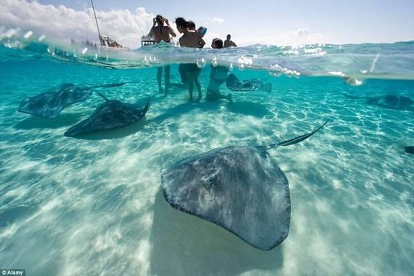 Khu vực này của quần đảo Cayman nổi tiếng với hệ động vật phong phú, các bãi biển nước nông là nơi lý tưởng để du khách chơi đùa và lặn cùng cá đuối khổng lồ.
