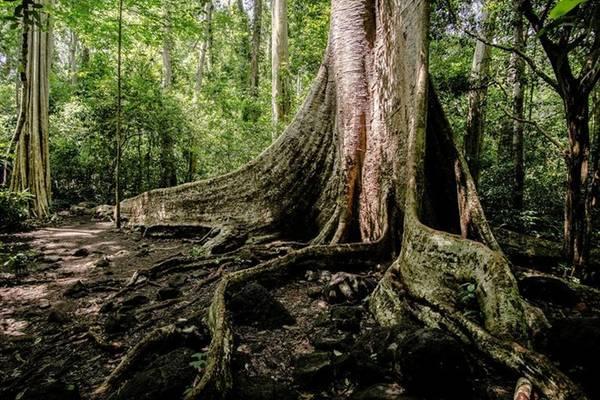 Một cây tung khổng lồ 400 năm tuổi với rễ cây như những bức tường thành sừng sững giữa rừng khiến chúng tôi cảm nhận được sự nhỏ bé của mình trước sự hùng vĩ và đầy sức sống của mẹ thiên nhiên. Ảnh toàn cảnh cây tung.