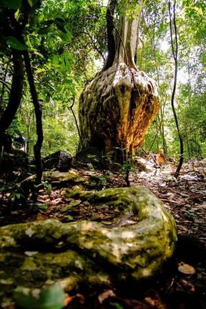 Bộ rễ cây bằng lăng kéo dài và uốn éo khiến ta liên tưởng đến một con rắn đang bò trườn đến chiếc lục bình khổng lồ của tạo hóa.