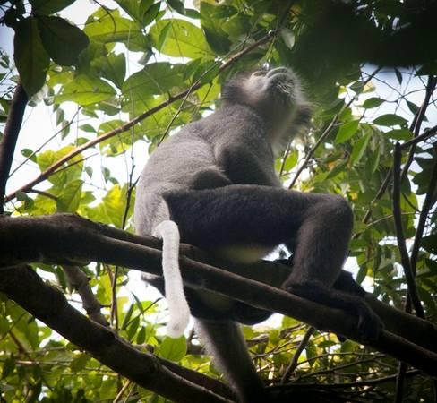 Một con vọoc ngồi vất vưởng trên cây, đây là một cư dân thường xuyên của khu rừng già này, tại nơi đây có cả một khu bảo tồn cho những sinh vật này. Chúng tôi phải mất hơn 30 phút kiên nhẫn mới có thể bắt được những bức ảnh này.