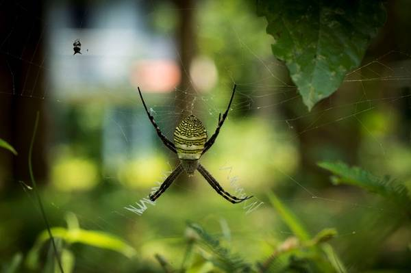 Một con nhện rừng rất đẹp đang giăng tơ, nếu để ý bên cạnh bạn có thể thấy được một con mồi đã sắp trở thành mồi ngon cho chú nhện này.