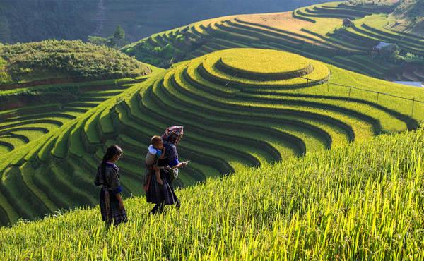 Vẻ đẹp của các thửa ruộng bậc thang ở Lao Chải – Tả Van đã khiến Sapa trở thành điểm đến rất thu hút khách du lịch.  Ảnh: Vietnampremiertravel