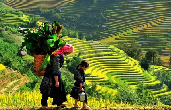 Tháng 9 là thời điểm đẹp nhất để săn mùa lúa chín ở Sapa. Ảnh: Vietnampremiertravel.com