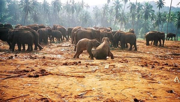 Trại nuôi voi Pinnawela là nơi nuôi dưỡng những chú voi con lạc bầy và bị bệnh nặng ở Sri Lanka. Ảnh: Globalgrasshopper.com