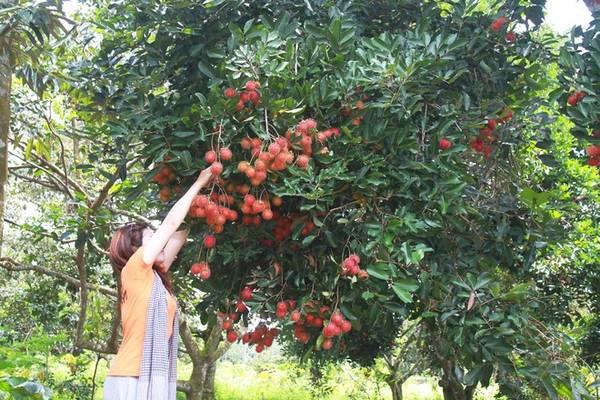 8h: Thăm vườn trái cây trĩu quả Long Khánh được xem là vựa trái cây của Đông Nam Bộ, do đặc trưng thổ nhưỡng ở đây nên hoa trái rất sum suê. Bạn có thể ghé các xã Bảo Quang, Bảo Vinh, Bình Lộc… để vào thăm vườn trái cây, thu hoạch cùng người dân nơi đây. Điều thú vị nhất của du lịch vườn là bạn có thể trèo lên cây tự tay mình hái trái. Hầu hết vườn trái cây đều không tính phí tham quan, mà du khách sau khi đến có thể mua trái cây tươi ngon mang về. Trong đó, chôm chôm 15.000-20.000 đồng một kg, măng cụt giá 20.000-25.000 đồng một kg.