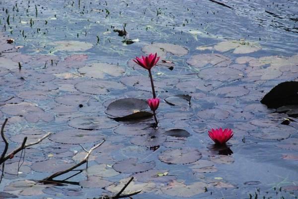 Rời ao Tiên, du khách tiếp tục đi qua những hòn đảo xinh đẹp của hồ Ba Bể. Thỉnh thoảng, bạn có thể bắt gặp những khóm súng với màu xanh thẫm mọc gần bờ. Sắc hồng của hoa súng nổi bật trên bát ngát màu xanh của trời, nước và rừng cây.