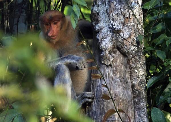 Vùng này nổi tiếng với giống khỉ Probosics vì chúng có DNA gần giống với con người. Đặc biệt chúng có cái mũi hếch, đuôi dài, leo trèo và nhảy rất nhanh. Giống khỉ này được xem như là biểu tượng của Sandakan, nơi hạ lưu của sông chảy qua.