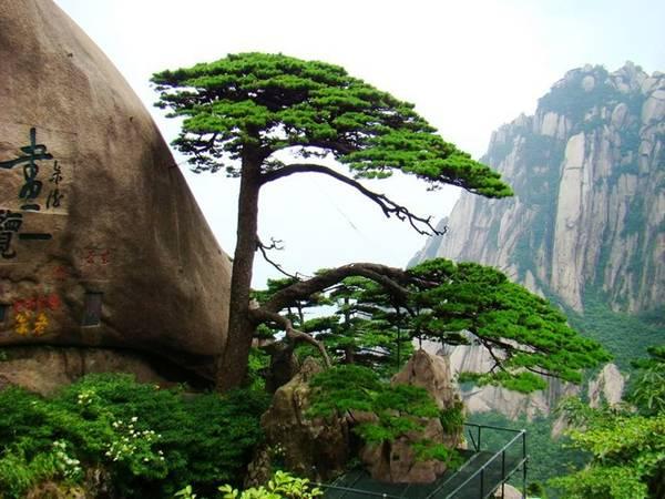 Một là vẻ đẹp của cây thông. Hoàng Sơn có hàng trăm nghìn gốc thông cổ trên một trăm năm tuổi. Đặc biệt hơn cả là cây thông nghênh khách trên ngọn Ngọc Nữ - tượng trưng của Hoàng Sơn. Ảnh: Baike.