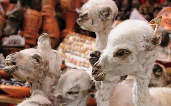 Từ bào thai lạc đà không bướu để cầu may, tới bùa ếch, lông cú và bùa đá, du khách sẽ tìm thấy đủ mọi thứ liên quan tới phù thủy ở đây. Phần lớn các gia đình ở Bolivia vứt một bào thai lạc đà không bướu khô dưới móng nhà để cầu may. Ảnh: Trazeetravel.
